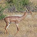 Impala by Tony Murtagh