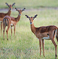 Impalas Aepyceros Melampus Petersi by Panoramic Images