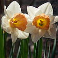 In Conversation - A Couple Of Daffodils Huddled Together by Georgia Mizuleva