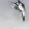 In Flight Blue Jay by Bill Wakeley