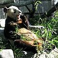 In Need Of More Sleep. Er Shun Giant Panda Series. Toronto Zoo by Ausra Huntington nee Paulauskaite