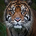 Tiger In Your Face by Athena Mckinzie