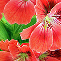 In The Garden. Geranium by Ben and Raisa Gertsberg