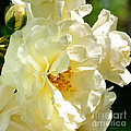 Sunny Rose Garden by Nava Thompson