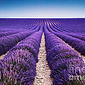 In The Lavender by Matteo Colombo