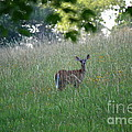 White-tailed Deer In Meadow  by Neal Eslinger