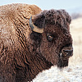 In The Presence Of  Bison - 2 by OLena Art - Lena Owens