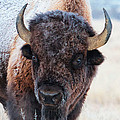 In The Presence Of  Bison - 4 by OLena Art - Lena Owens
