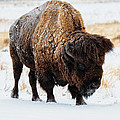 In The Presence Of  Bison - 5 by OLena Art - Lena Owens