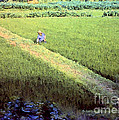 In The Rice Fields by Lydia Holly