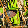 In The Shade Little Green Heron by Timothy Flanigan