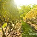 In The Vineyard by Diane Diederich