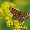 Inachis Io Butterfly On The Yellow Flowers by Jaroslaw Blaminsky