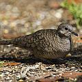 Inca Dove by Doug Lloyd