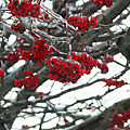 Incased Berries by Tracy Winter