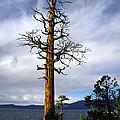 Incense Cedar With Osprey Nest by Frank Wilson