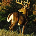 Whitetail Buck - Indecision by Crista Forest