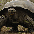 Indefatigable Island Tortoise Galapagos by Pete Oxford