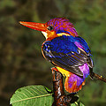 India Three Toed Kingfisher by Anonymous