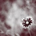 Indian Blanket Flower by Darryl Dalton