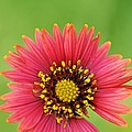 Indian Blanket by Keith Gondron