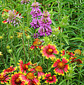 Indian Blankets And Lemon Horsemint by Lynn Bauer