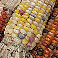 Indian Corn by Ann Horn