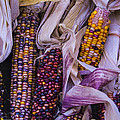 Indian Corn Harvest by Garry Gay