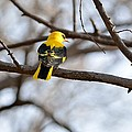 Indian Golden Oriole by Fotosas Photography