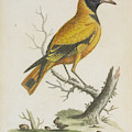 Indian Icterus by British Library