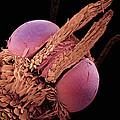 Indian Meal Moth Sem 420x by Albert Lleal