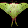 Indian Moon Moth by Tomasz Litwin