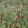 Indian Paintbrush And Foxtail Barley by Tim Fitzharris