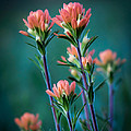 Indian Paintbrush At Dawn by James Barber