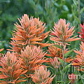 Indian Paintbrush by Marty Fancy