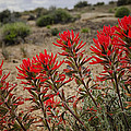 Indian Paintbrush  by Saija  Lehtonen