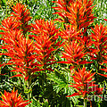 Indian Paintbrush by Sue Smith