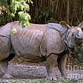 Indian Rhinoceros by Mark Newman