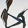 Indian Rose Mantis Gonglus Gongylodes Wondering Violin Mantis  1 Of 3 by Leslie Crotty