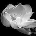 Indian Sacred Lotus In Black And White by Byron Varvarigos