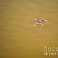 Indian Skipper Frog On Water Surface by Image World