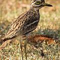 Indian Stone-curlew Or Indian Thick-knee by Vijay Sonar