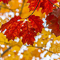 Indian Summer Trees by Cheryl Baxter