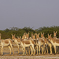Indian Wild Ass Herd Gujarat India by Pete Oxford