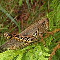 Indiana Grasshopper by Rory Cubel