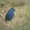 Indigo Blue by Susan Capuano