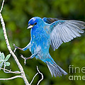 Indigo Bunting Alighting by Anthony Mercieca