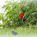 Indigo Bunting And Scarlet Tanager 2 by Travis Truelove