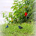 Indigo Bunting And Scarlet Tanager by Travis Truelove