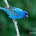 Indigo Bunting Passerina Cyanea by Anthony Mercieca